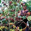 Honduras coffee exports more than double in November 2014