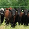 Canada to Export Beef to Honduras