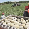 Melon and Watermelon Crops Could Generate 1 Billion Dollars for Honduras Economy