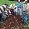 Honduras Expects an Over Supply of Sweet Potatoes