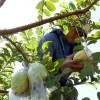 "Honduras' Pearl Guava ""Guayaba"" crops surpass China's"