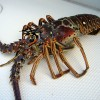 Honduras Lobsters caught Diving Rejected by US Market