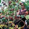 "Honduras' Newest Tourist Attraction – ""Coffee Route"""