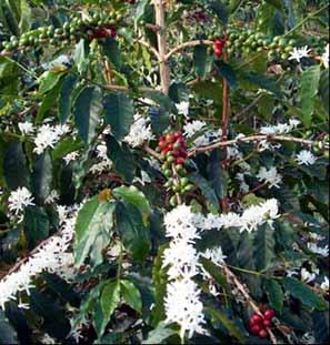 Honduras coffee plants