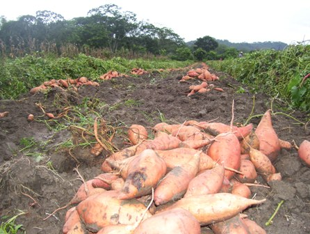 Honduras Sweet Potatoes
