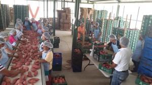Honduran Sweet Potato Being Processed for Export