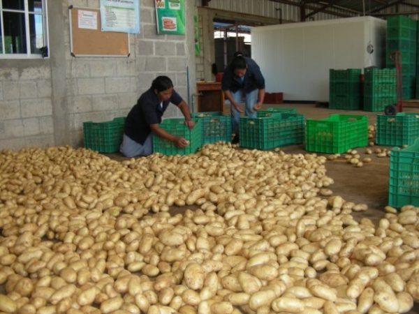 Honduran Potatoes