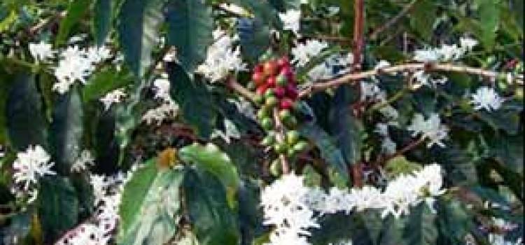 Honduras Reports Good Coffee Flowers