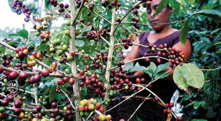 "Honduras' Newest Tourist Attraction – ""Coffee Route"""