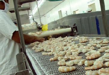 Honduras 2015 Shrimp Exports Fell 30%