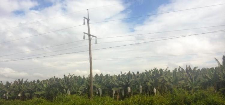 Banana Fungus in Honduras Could Hinder Economy