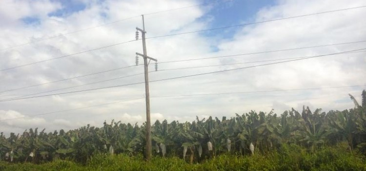 Global Banana Market Is Feeling The Strain Of Honduras'Hotter Weather, Longer Droughts
