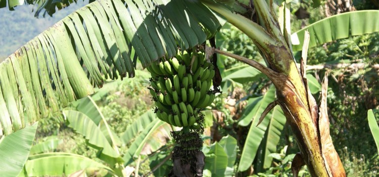 Honduras to Plant 3,000 Acres of Bananas