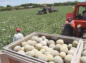 Honduran Melon Harvest