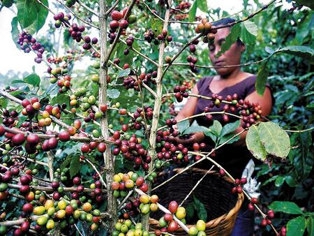 Coffee has been good for the Honduran economy.