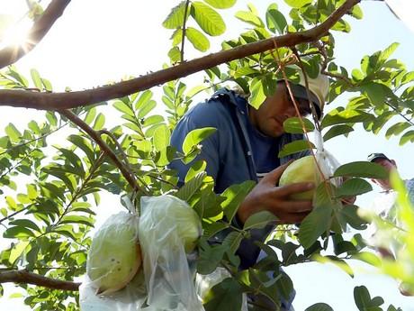 "Honduras Pearl Guava ""Guayaba"""