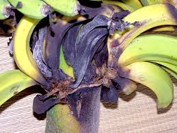 Fusarium fungus attacks bananas.